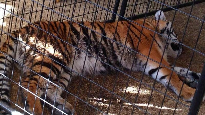 Tiger in cage at 2014 Riverside County Fair